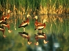 black-bellied-whistling-duck-5